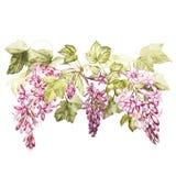 Insieme dell'illustrazione botanica dell'acquerello disegnato a mano dei fiori del ribes nero Elemento per progettazione degli in illustrazione vettoriale