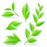 Insieme dell'illustrazione di vettore di un collage di tè verde Immagini Stock