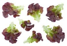 Insieme dell'insalata della lattuga di Oakleaf Fotografia Stock Libera da Diritti