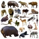 Insieme dell'ippopotamo e di altri animali africani Isolato Fotografie Stock
