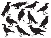 Insieme dell'ombra realistica della siluetta dell'icona del corvo isolata su fondo bianco nell'azione differente illustrazione di stock
