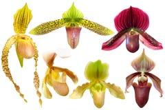 Insieme dell'orchidea del Paphiopedilum isolato Immagine Stock