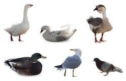 Insieme dell'uccello Fotografie Stock Libere da Diritti