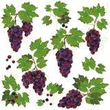 Insieme dell'uva nera isolato su priorità bassa bianca Fotografie Stock Libere da Diritti