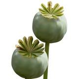 Insieme della capsula di verde del papavero su fondo bianco Immagini Stock
