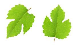 Insieme della foglia dell'uva isolato su un bianco Fotografia Stock