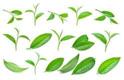 Insieme della foglia di tè verde isolato su bianco Immagine Stock