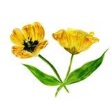 Insieme della pittura dell'acquerello dei tulipani Tulipano isolato giallo su fondo bianco Fotografia Stock