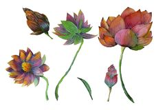 Insieme della pittura dell'acquerello delle piante acquatiche di loto Immagine Stock Libera da Diritti