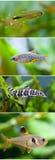 Insieme della raccolta del pesce dell'acquario L'argento di nuoto ha fornito di punta tetra, galassia celeste di Microrasbora del Immagine Stock