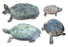 Insieme della raccolta della tartaruga isolato su fondo bianco, picchiettio di taglio Immagine Stock Libera da Diritti