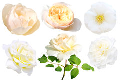 Insieme della rosa di bianco isolato Fotografia Stock Libera da Diritti