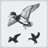 Insieme delle anatre selvatiche di volo Fotografia Stock Libera da Diritti