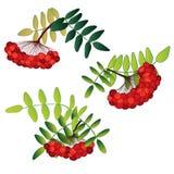 Insieme delle bacche di sorbo con le foglie isolate Illustrazione Vettoriale