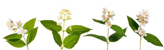 Insieme delle filiali del gelsomino con i fiori Fotografia Stock