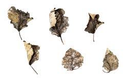 Insieme delle foglie asciutte cadute isolate su fondo bianco Immagini Stock