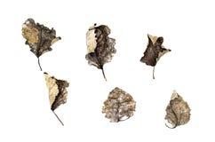 Insieme delle foglie asciutte cadute isolate su fondo bianco Fotografia Stock Libera da Diritti