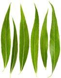 Insieme delle foglie del salice Immagine Stock