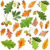 Insieme delle foglie della quercia marrone di verde e di autunno di estate Immagini Stock Libere da Diritti