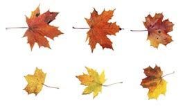 Insieme delle foglie di acero di autunno isolate Fotografia Stock