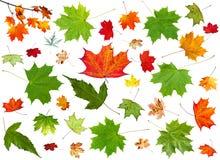 Insieme delle foglie di acero pezzate di verde e di autunno di estate Fotografie Stock