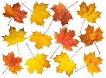 Insieme delle foglie di acero su fondo bianco Immagini Stock Libere da Diritti