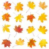 Insieme delle foglie di acero variopinte di autunno Fotografia Stock