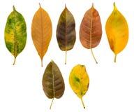 Insieme delle foglie di autunno ed asciutte Fotografia Stock