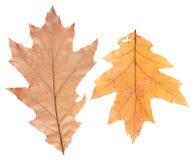 Insieme delle foglie di autunno isolate Immagine Stock