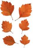 Insieme delle foglie di autunno isolate su fondo bianco Fotografia Stock