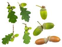 Insieme delle foglie e delle ghiande della quercia isolate su bianco Fotografie Stock