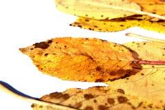 Insieme delle foglie su un fondo bianco Fotografia Stock