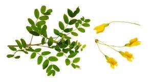 Insieme delle foglie verdi fresche e dei fiori gialli del peashru siberiano Fotografie Stock