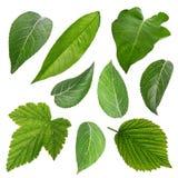 Insieme delle foglie verdi isolate sopra bianco Fotografie Stock Libere da Diritti
