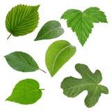 Insieme delle foglie verdi isolate sopra bianco Immagini Stock