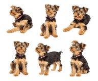 Insieme delle foto sveglie del cucciolo dell'Yorkshire terrier Immagini Stock Libere da Diritti