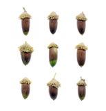 Insieme delle ghiande della quercia isolate su fondo bianco Fotografia Stock Libera da Diritti