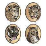 Insieme delle icone Gatto africano dei predatori leone, della tigre, del leopardo e dell'animale domestico dei mammiferi illustrazione vettoriale