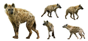 Insieme delle iene Isolato sopra fondo bianco Immagine Stock Libera da Diritti