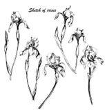 Insieme delle iridi disegnate a mano dei fiori di schizzi Illustrazione monocromatica di vettore Disegno botanico delle iridi royalty illustrazione gratis