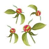 Insieme delle peonie di rosa dell'acquerello isolate per progettazione Immagine Stock