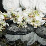 Insieme delle pietre di zen, ramoscello di fioritura della stazione termale della prugna con la riflessione sopra Fotografia Stock