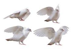 Insieme delle pose della colomba isolato su bianco Fotografia Stock