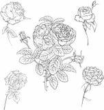 Insieme delle rose Immagine Stock