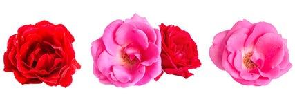 Insieme delle rose dei fiori su un fondo bianco Fotografie Stock