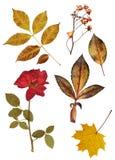 Insieme delle rose e delle foglie secche Fotografia Stock