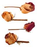 Insieme delle rose secche Fotografia Stock
