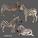 Insieme delle zebre realistiche in varie posizioni immagine stock libera da diritti