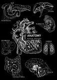 Insieme di anatomia dell'organo umano illustrazione di stock