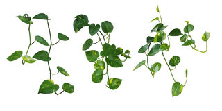 Insieme di attaccatura delle foglie in forma di cuore vite, edera del ` s del diavolo, vaso dorato Immagine Stock
